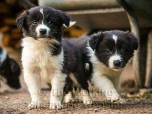 Two young border collie puppies looking sternly at the camera!