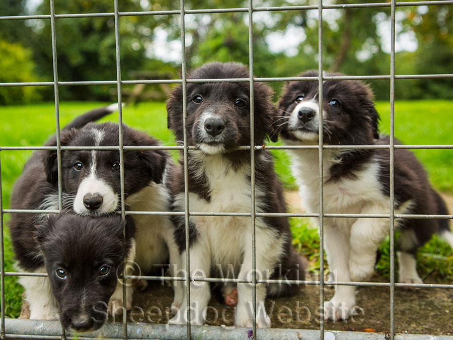 Four border collie pups looking through mesh together