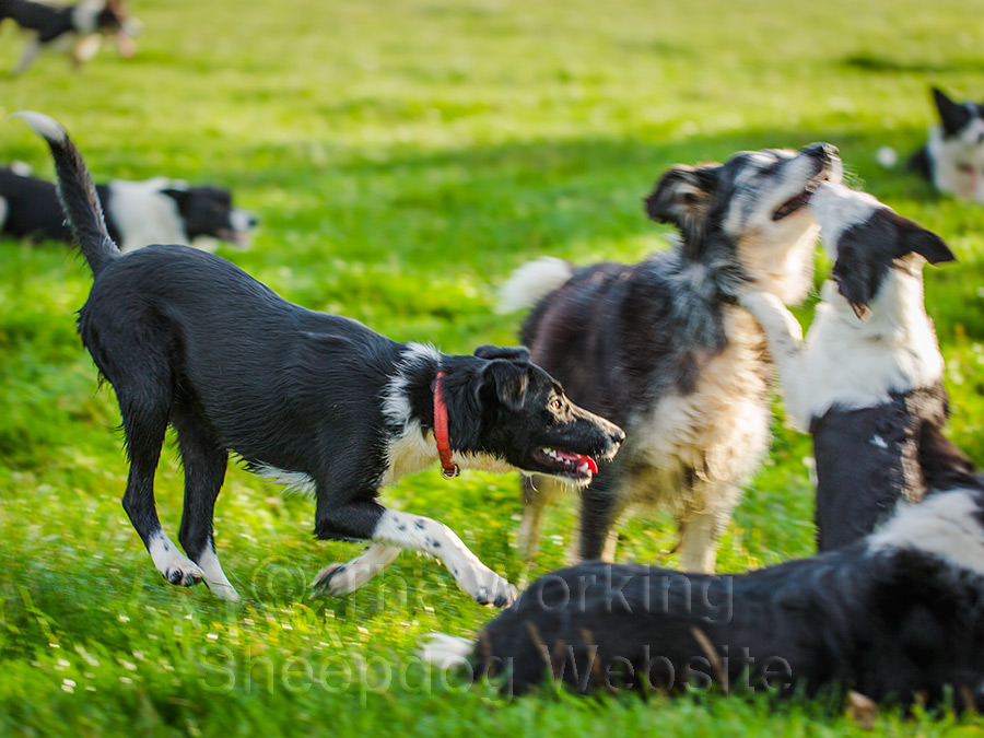 Group of border collies playing