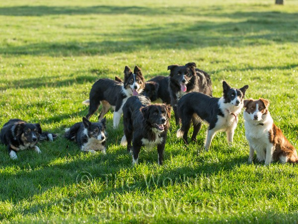 Group of assorted Border collies