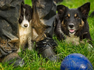 Border collie puppy with wellington boots and a ball