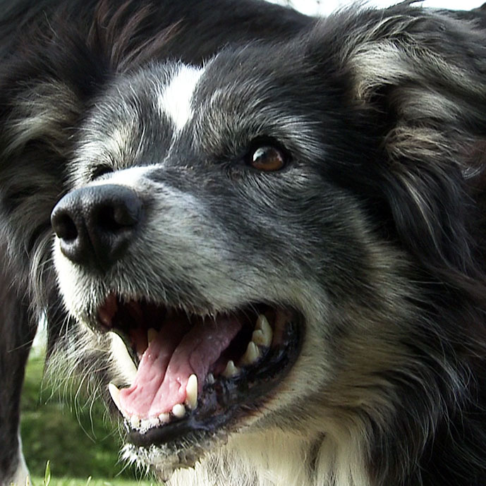 The Working Sheepdog Website - Sheepdog Training information, videos and DVDs