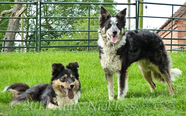 Border Collie Sheepdogs Midge and Speck