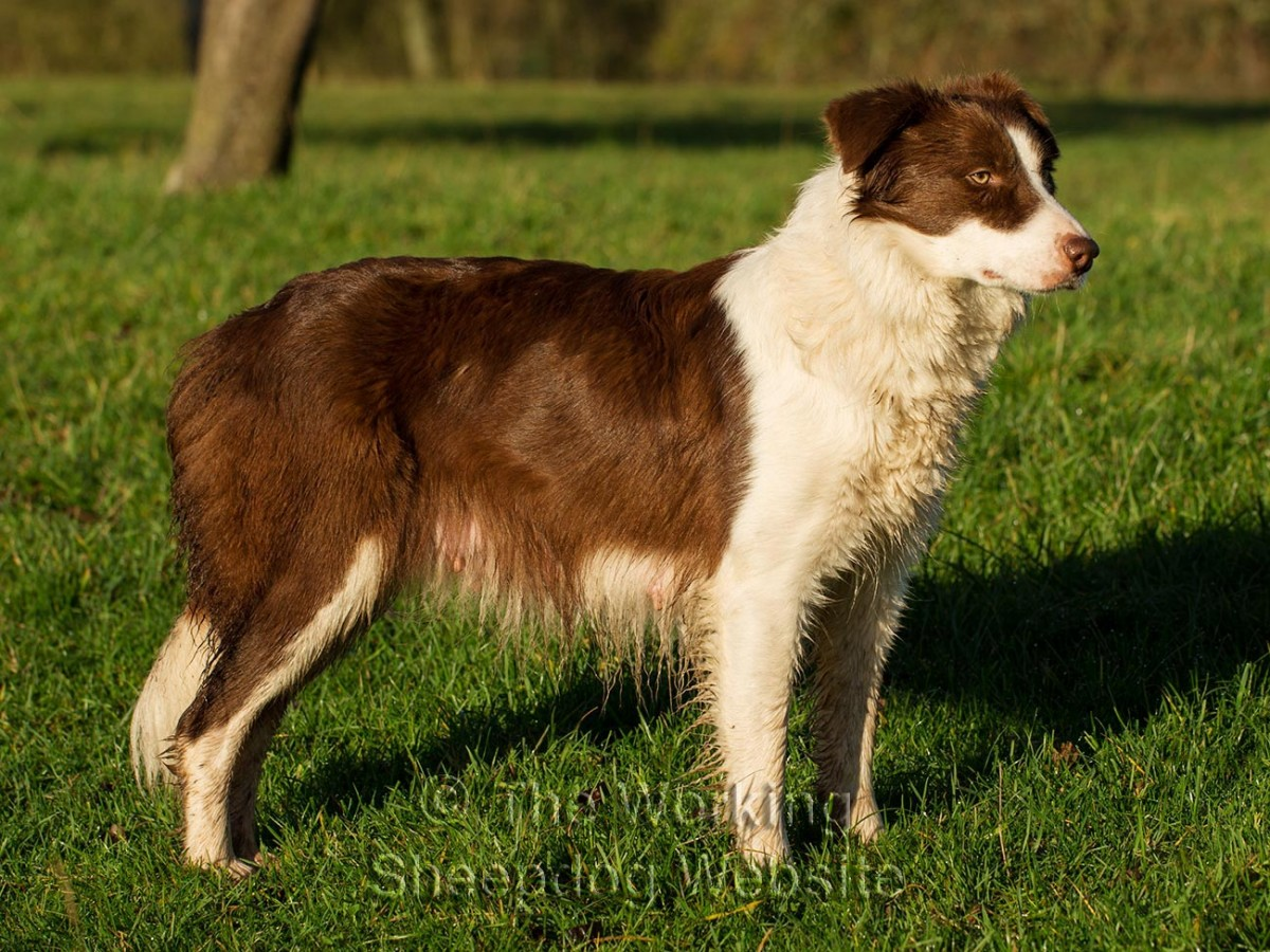 Red and white border collie sheepdog, Audrey