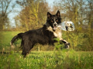 Sheepdog Jan playing with an empty plastic bottle