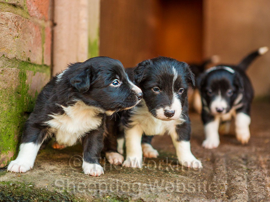 Four week old puppies finding their way out into the big world