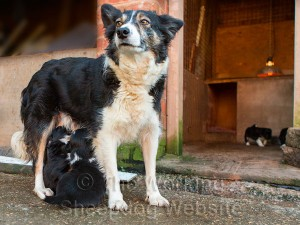 Kay standing outside her pen, feeding some of her puppies
