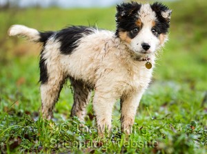 Sheepdog puppy Jack doesn't mind getting wet and muddy