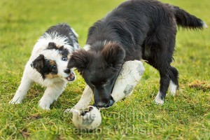 puppy Jack tries to get the toy away from Dash