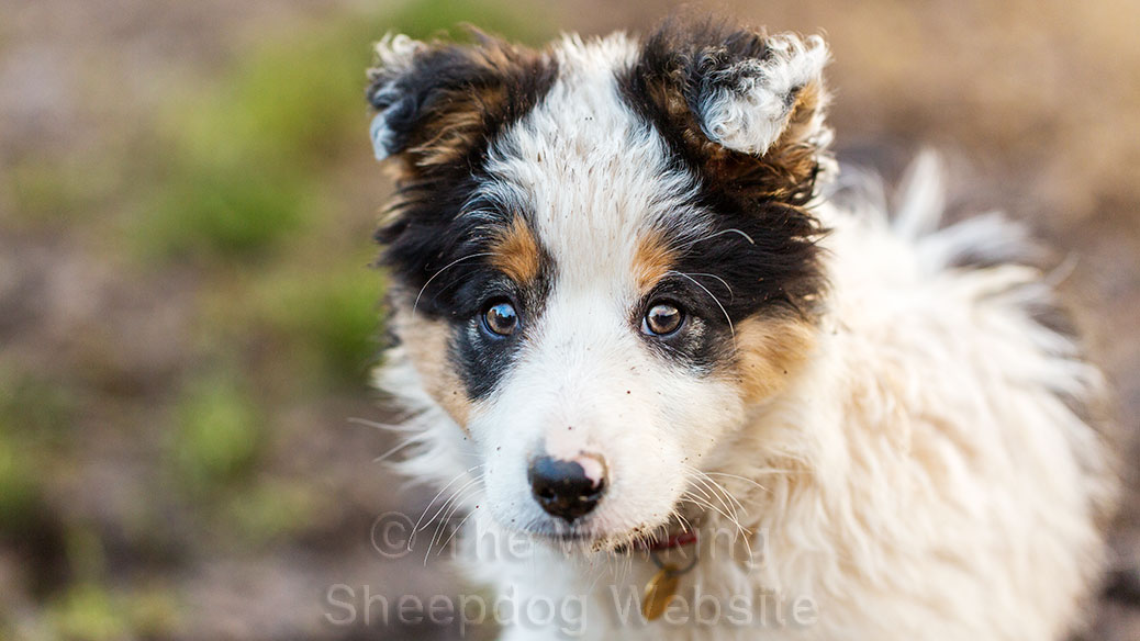 Close up picture of a very pretty tricolour border collie puppy with fluffy coat and white tips on its ears