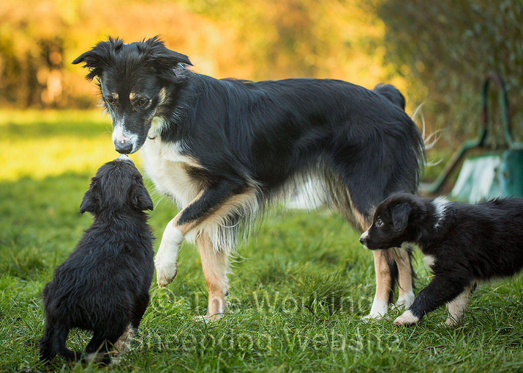 Agility Border Collie Izzy meets her half-sisters