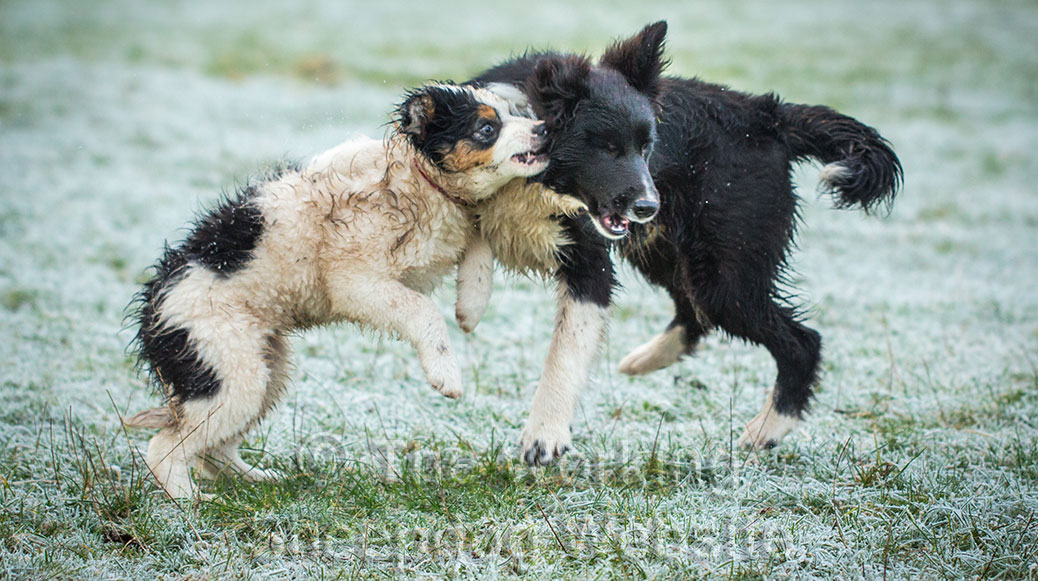 Dash and Jack playing together rather roughly