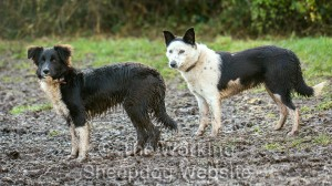 Young sheepdogs Dash and Madge in the mud. (Madge is actually 25% Jack Russell Terrier).
