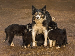 Sheepdog Kay feeding two of her own puppies, as well as five from another litter.