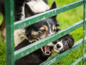 Female border collie play-fighting with her puppy.