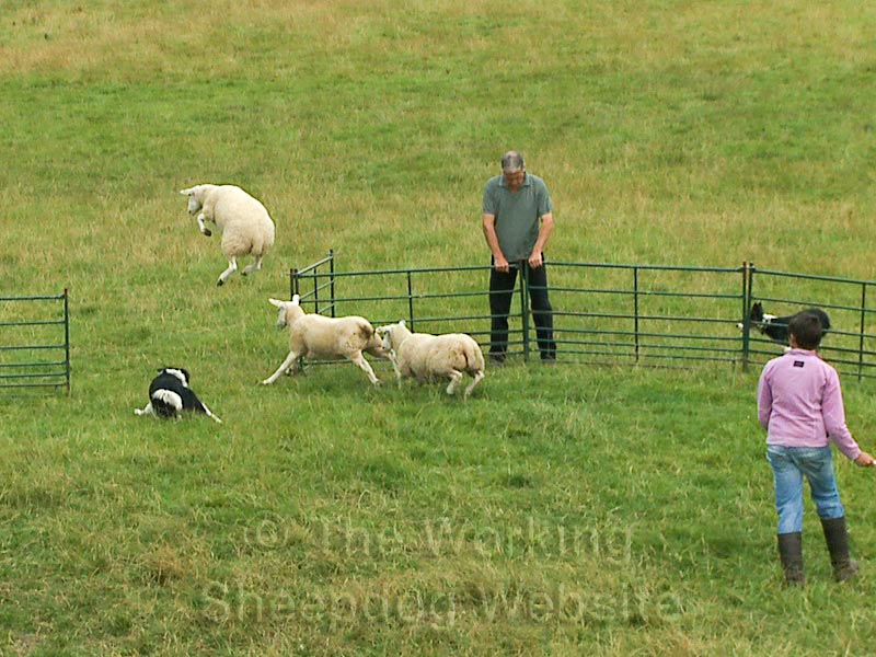 One of three sheep jumps high in the air to avoid a trainee sheepdog