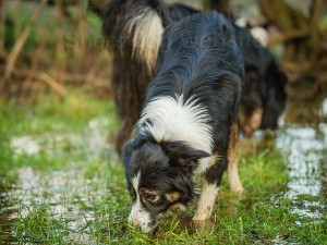 Tricolour and black and white Border collie sheepdogs