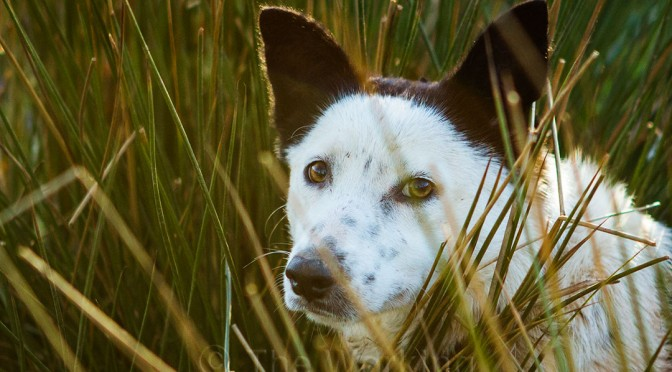 Beautiful white faced Border collie cross