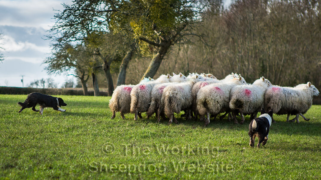 Young sheepdogs being introduced to sheep work