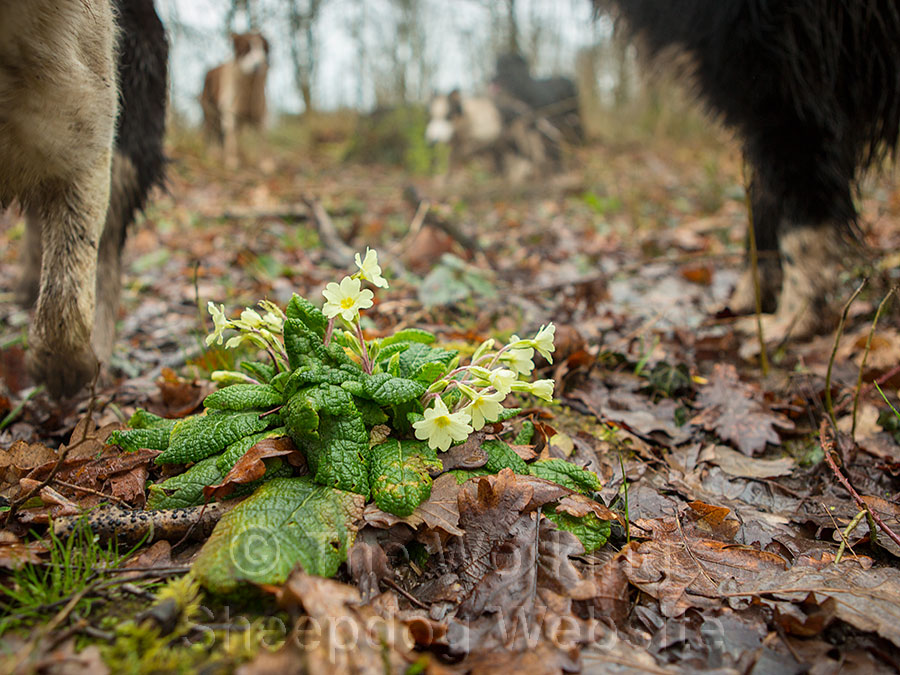 Primroses in a Worcestershire wood February 2014
