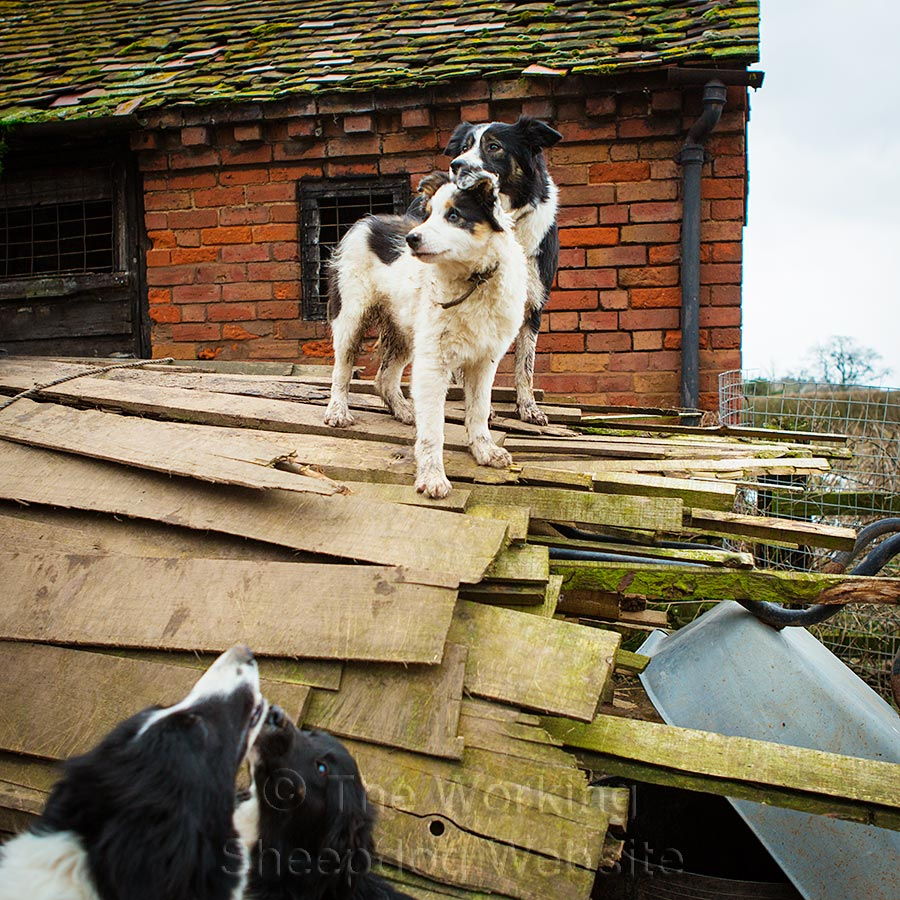 Two border collies standing on a wood pile