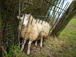 a sheep which has become trapped between a fence and a hedge