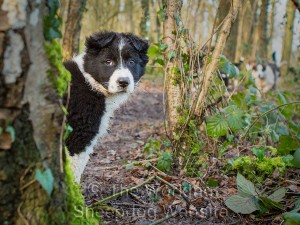 Black and white Border collie sheepdog puppy on a woodland walk