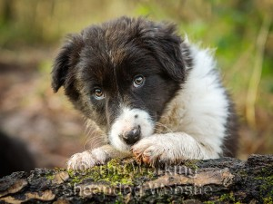 Collie puppy resting on a log