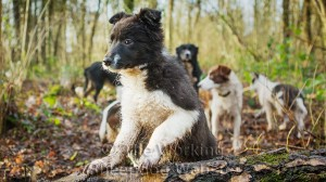 Puppies and sheepdogs out for a walk