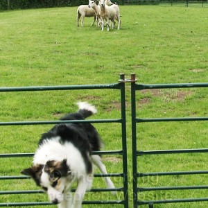 Young sheepdog jumping out of a training enclosure