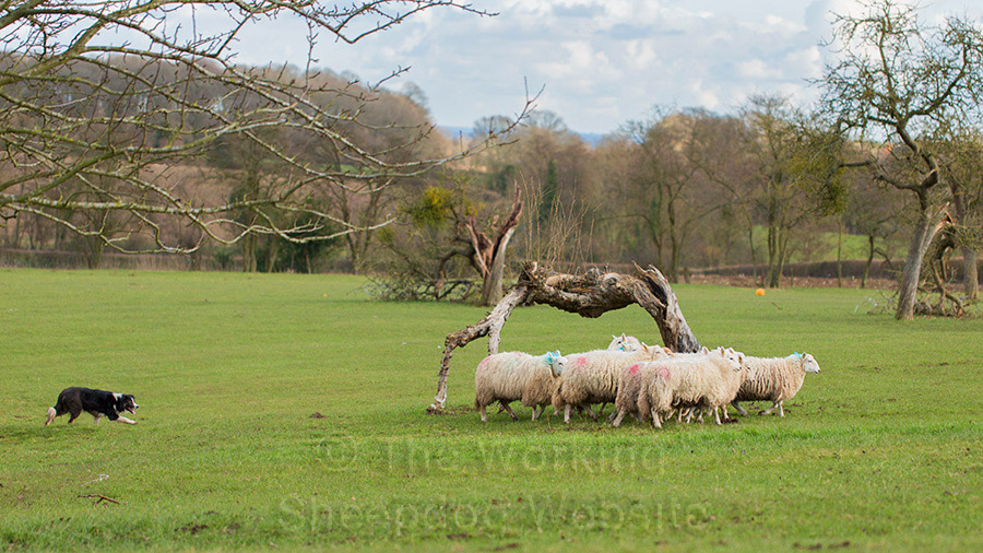 Sheepdog working with sheep
