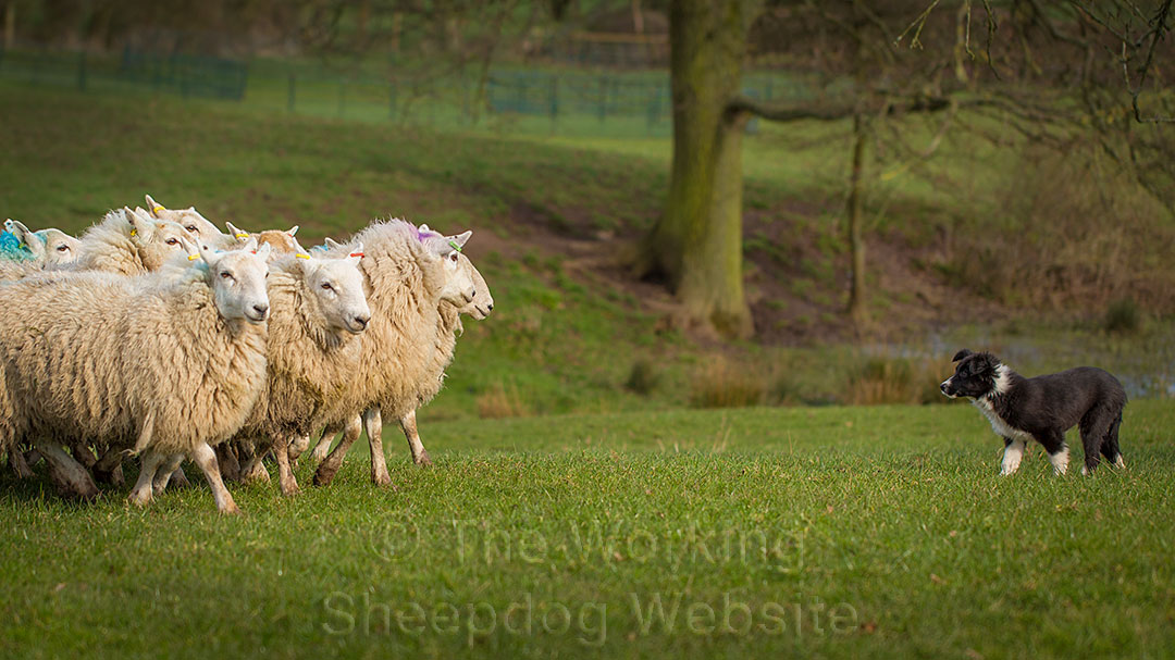 Young sheepdog puppy confronting a group of sheep
