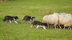 Sheepdog pups Dash and Hayley moving the sheep under the supervision of Carew.