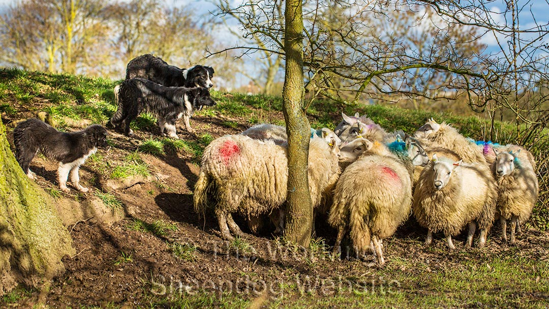Carew, Hayley and Dash holding the sheep at bay