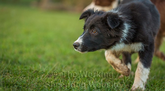 Border collie puppy Gretchen showing typical sheepdog style