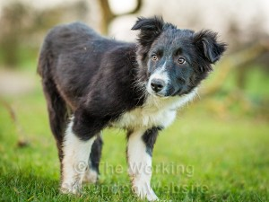 Border Collie sheepdog puppy Gretchen looking a little undecided