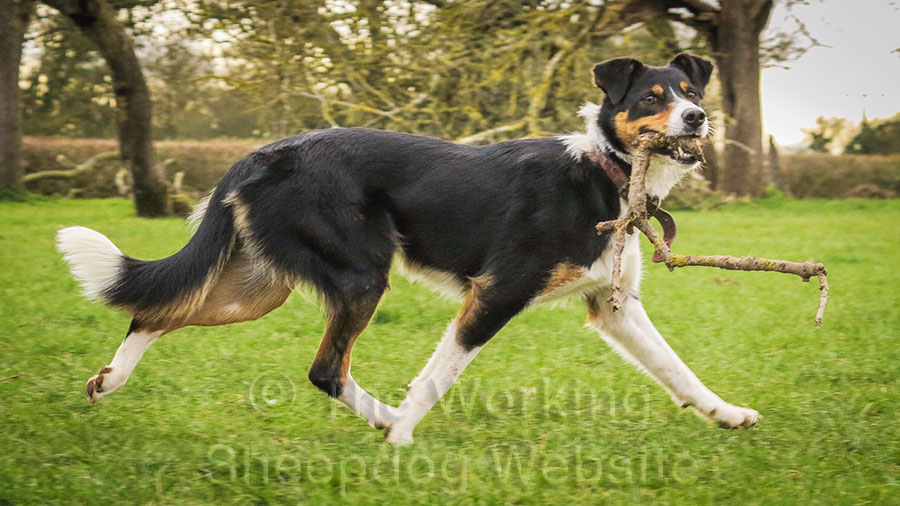 Border Collie Sheepdog at work while holding a small branch in its mouth