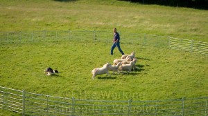A sheepdog being trained to work sheep in a small enclosure