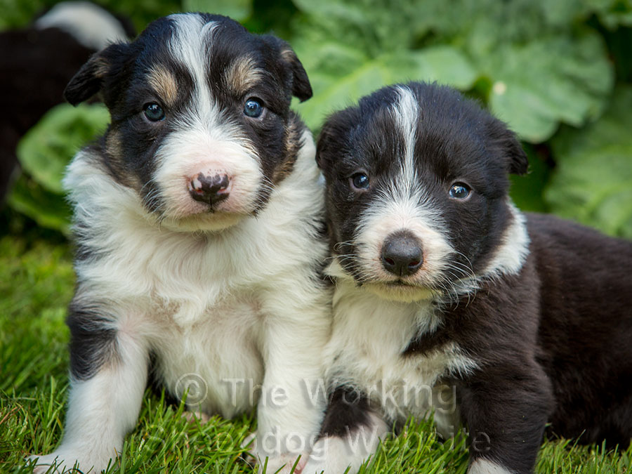 Beautiful border collie puppies at four weeks of age