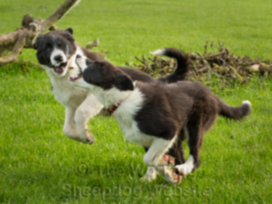Border collie puppies at play