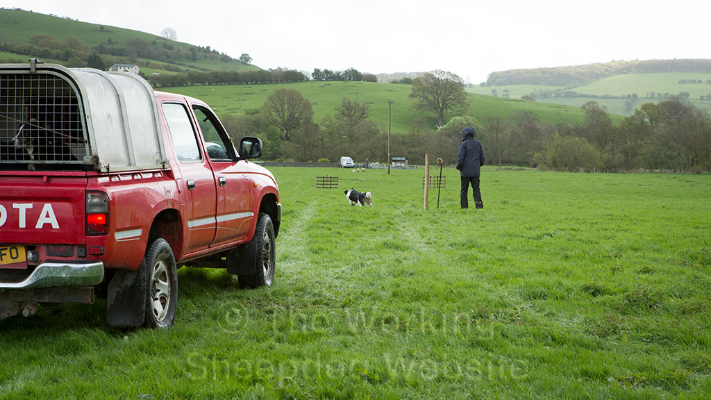 A dog sets off on its outrun at Felindre sheepdog trials