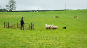 Penning at a sheepdog trial
