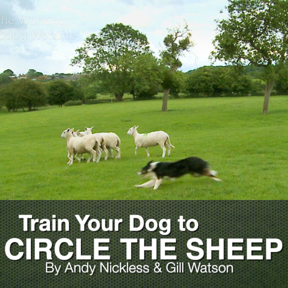 Title photo. A trainee dog circling sheep on command