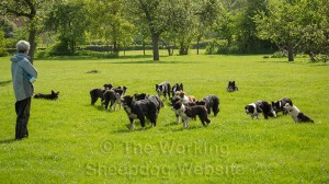 Group of border collies, waiting for the next game