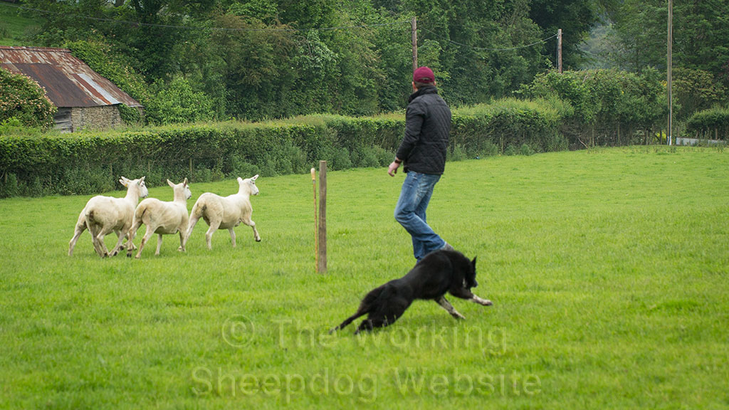 Kevin Evans flanks Caleb in anticipation of the sheep pulling right