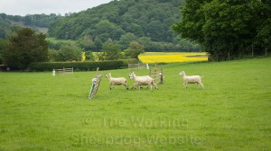 Sheep passing through the fetch gates - with the drive gates in the background