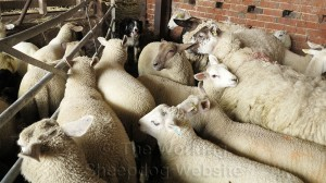 Sheepdog Carew prevents the sheep from escaping through a narrow gap in the sheep sorting pen