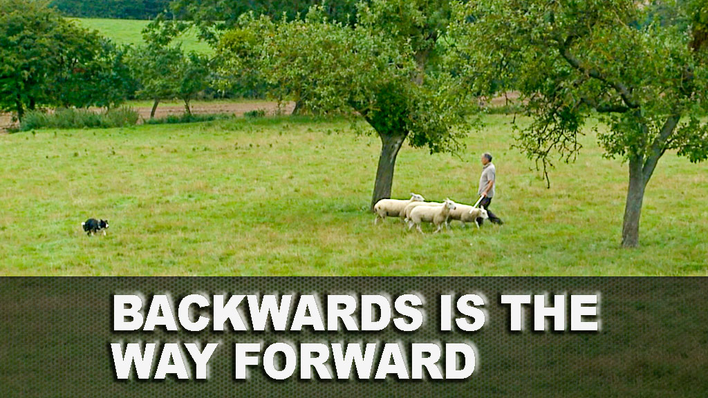 Picture of a sheepdog trainer walking backwards as the dog brings the sheep to him