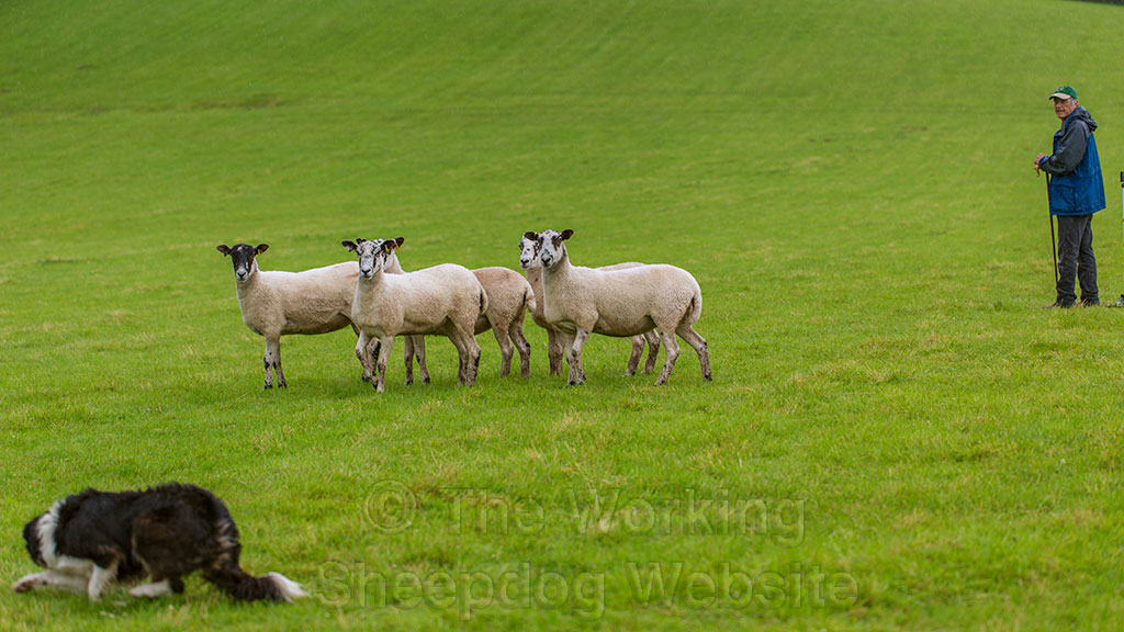 Sheepdog Carew keeps good control of her sheep as they go round the post at Mathon sheepdog trials.