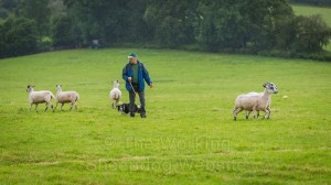 In pouring rain, Carew separates the sheep perfectly at Mathon Sheep Dog Trials.